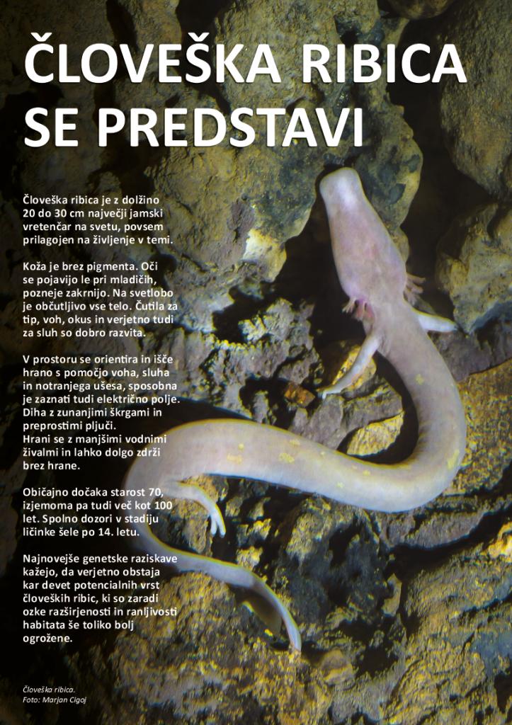 Zloženka Človeška ribica ali močeril, ranljivi prebivalec kočevskega podzemlja
